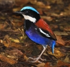 Borneo - Budget Birding 2018