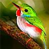 Cuba - Caribbean Endemic Birding VI 2017