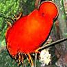Guyana - Birds & Wildlife 2017