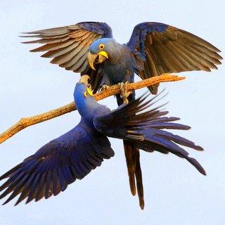 Brazil - Birds & Wildlife of the Pantanal & Cerrado I 2017