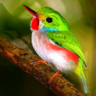 Cuba - Caribbean Endemic Birding IX 2017