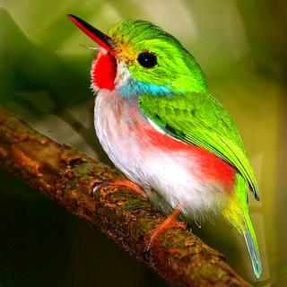 Cuba - Caribbean Endemic Birding V 2017