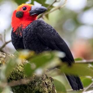 Malaysia & Borneo - Rainforest Birds & Mammals II 2018