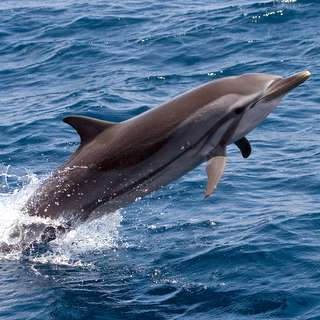The Maldives - Cetacean & Seabird Cruise 2017
