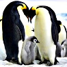 Antarctic - Emperor Penguin Safaris