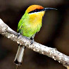 Malawi - Miombo & Montane Birding 2018