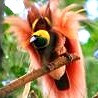 Papua New Guinea - Birding in Paradise II 2017