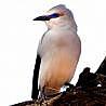 Ethiopia - Budget Birding 2018