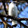 Indonesia - Bali Birding Extension 2018
