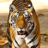 India - Northern: Birds & Tigers II 2018
