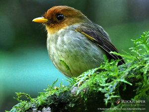 Hooded Antpitta