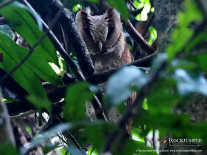 Sri Lanka Bay Owl
